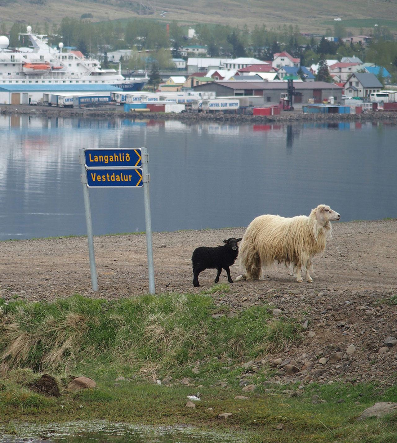 Schwarzes Schaf in Seydisfjördur, Island